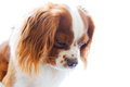 King charles spaniel on white background english toy small dog breed of the type downward facing dog s head Royalty Free Stock Image