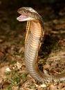 Král kobra