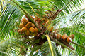 King coconuts beautiful shot of bunch of Royalty Free Stock Images