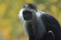 King colobus monkey Royalty Free Stock Photo