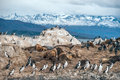 King Cormorant colony, Beagle Channel, Argentina - Chile Royalty Free Stock Photo