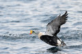 King Eider Royalty Free Stock Photography