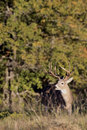 King of the forest a huge nontypical whitetail buck in early fall Royalty Free Stock Photo