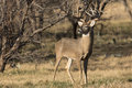 King of the forest i gigantic mature whitetail buck posing for all to see Royalty Free Stock Photos