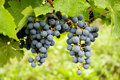 The King of Grapes Royalty Free Stock Photography