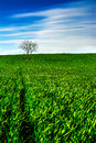 King of the hill lonely tree on a green field in early spring time Royalty Free Stock Photo