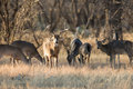 The king with his ladies whitetail buck Royalty Free Stock Photo