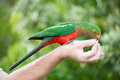 King parrot curious australian alisterus scapularis is being fed from the hand seen near apollo bay on the grat ocean road Royalty Free Stock Photo