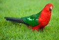 King parrot curious australian alisterus scapularis on the grass seen near apollo bay on the grat ocean road victoria australia Royalty Free Stock Photography