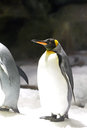 King Penguin Royalty Free Stock Images