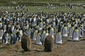 King penguin aptenodytes patagonicus large group falklands Royalty Free Stock Images