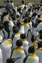 King penguin aptenodytes patagonicus large group falklands Stock Photography