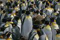King penguin aptenodytes patagonicus large group falklands Royalty Free Stock Photo