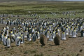 King penguin aptenodytes patagonicus large group falklands Stock Images