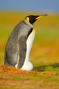 King penguin, Aptenodytes patagonicus sitting in grass with tilted head, Falkland Islands. Bird with blue sky, summer day. Beautif