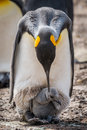 King penguin bending over to preen chick Stock Photography