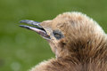 King penguin chick falkland islands Royalty Free Stock Photos