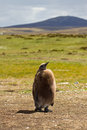 King penguin chick falkland islands Royalty Free Stock Photography