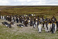 King penguin chicks colony falkland islands Royalty Free Stock Photography