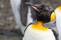 King penguin close up female Royalty Free Stock Photography