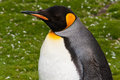 King penguin close up male Stock Image