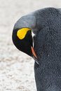 King penguin closeupe is cleaning his feathers Royalty Free Stock Photography