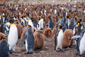 King Penguin Colony Royalty Free Stock Images