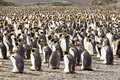 King Penguin Colony Royalty Free Stock Photos