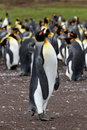 King penguin colony falkland islands Stock Image