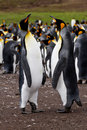 King penguin colony falkland islands Stock Images
