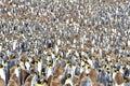 King penguin colony Royalty Free Stock Photo