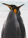 King Penguin couple cross beaks Royalty Free Stock Images