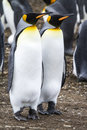 King penguin couple dreaming the future aptenodytes patagonicus colony of penguins in bluff cove falkland islands Royalty Free Stock Photography