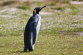 King penguin female stays in the grass in penguins colony in falkland island Royalty Free Stock Photography