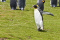 King penguin flaps his wings on the green grass Royalty Free Stock Photography