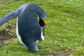 King penguin male stays on the grass in colony volunteer point falkland islands Royalty Free Stock Photo