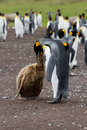 King penguin mother and her chick is feeding Royalty Free Stock Photo