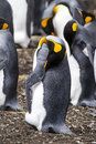 King penguin nasty smell aptenodytes patagonicus colony of penguins in bluff cove falkland islands Royalty Free Stock Image