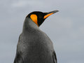 King Penguin profile shot from behind, Falkland Is Stock Photography