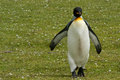 King penguin runs on the grass falkland islands Stock Photography