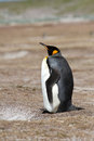 King penguin sitting on the beach falkland islands Stock Image