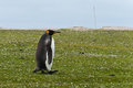 King penguin stays alone on the grass falkland islands Royalty Free Stock Photo