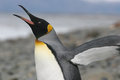King Penguin stretches his wings Royalty Free Stock Image