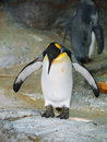 King penguin in zoo Royalty Free Stock Images