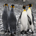 King penguins at the beach of South Geogia Royalty Free Stock Photo