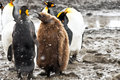 King penguins with chick Stock Images