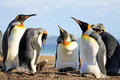 King penguins with chick, aptenodytes patagonicus, Saunders, Falkland Islands Royalty Free Stock Photo