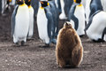 King penguins chick stays before moult on the background of colony Stock Photo
