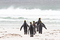 King penguins go for fishing five falkland islands Royalty Free Stock Images