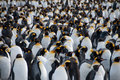 King Penguins on Gold Harbour Royalty Free Stock Photo